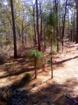 baby, 5 years, 10 years - longleaf pine growth